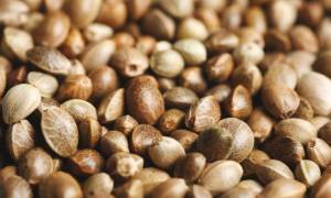 Cannabis Seeds: Choosing the Right Product